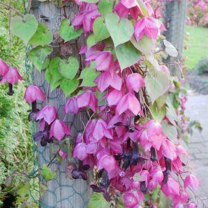 Purpur-Glockenwinde / Rosenkelch (Rhodochiton atrosanguineum) Purple Bell