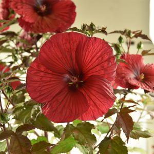 Riesen-Hibiskus (Hibiscus moscheutos) SUMMERIFIC Holy Grail