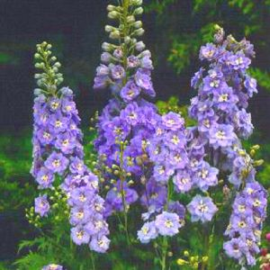 Rittersporn (Delphinium cultorum) PACIFIC GIANTS Guinevere
