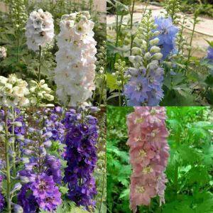8 Pflanzen Rittersporn (Delphinium) Mix