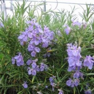 Rosmarin (Rosmarinus officinalis) Blue Winter