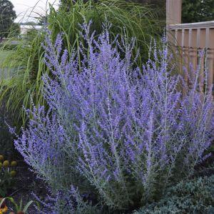 Blauraute (Perovskia atriplicifolia) Rocketman