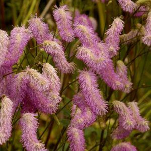 Hoher Wiesenknopf (Sanguisorba hakusanensis) Pink Brushes