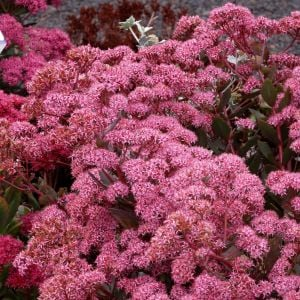 Prachtfetthenne (Sedum spectabile) Cloud Walker