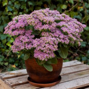 Prachtfetthenne (Sedum spectabile) Hot Stuff