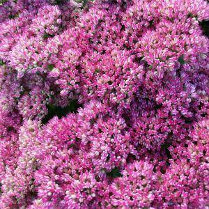 Pracht-Fetthenne (Sedum telephium) Autumn Joy