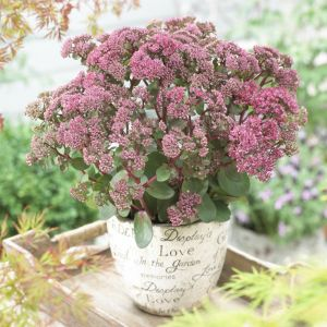 Prachtfetthenne (Sedum telephium) SEDUCTION Green-Pink