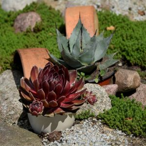 Dachwurz (Sempervivum) BIGSAM Power Grenade