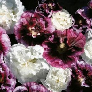 Stockrose (Alcea rosea) Blackberry Ripple