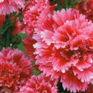 Stockrose (Alcea rosea) Fiesta Time