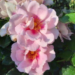 Strauchrose (Züchterrose) Orienta® Magnolia