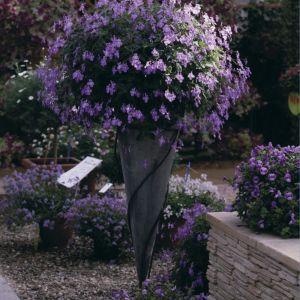 Afrikanisches Veilchen (Streptocarpus saxorum) Blue Fountain