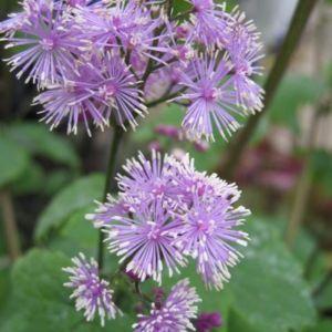 Wiesenraute (Thalictrum actaefolium) Perfume Star