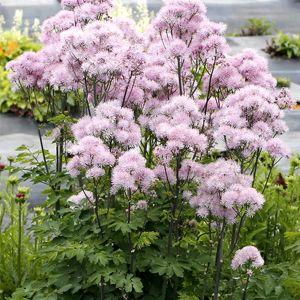 Wiesenraute (Thalictrum aquilegifolium) NIMBUS Pink