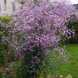 Wiesenraute (Thalictrum delavayi) Splendide