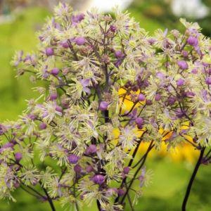 Hohe Wiesenraute (Thalictrum rochebrunianum) Anne