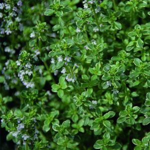 Panaschierter Zitronenthymian (Thymus citriodorus) Silver Queen