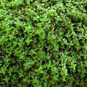 Gewürz-Thymian (Thymus vulgaris) Kugelthymian