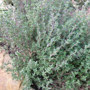 Gewürzthymian (Thymus vulgaris) Precompa