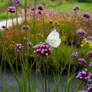 Patagonisches Eisenkraut (Verbena bonariensis) Violet Blue