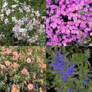 7 Vierländer Pflanzen (Bunte Bodendecker) Mix