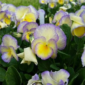 Hornveilchen (Viola cornuta) Etain