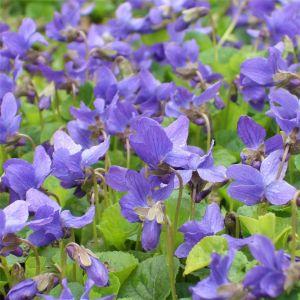 Duftveilchen (Viola odorata )