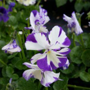 Veilchen (Viola cornuta) Rebecca Cawthorne