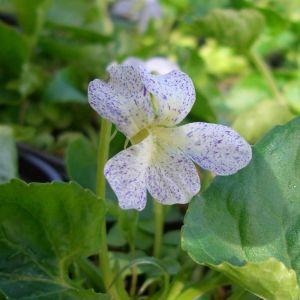 Pfingstveilchen (Viola sororia ) Freckles