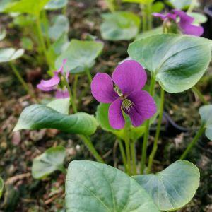 Pfingstveilchen (Viola sororia ) Red Cloud