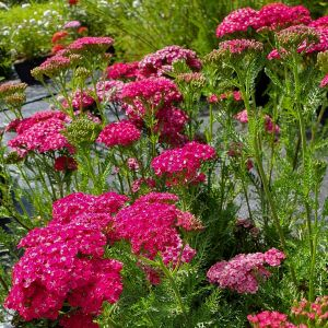 Schafgarbe (Achillea millefolium) Saucy Seduction