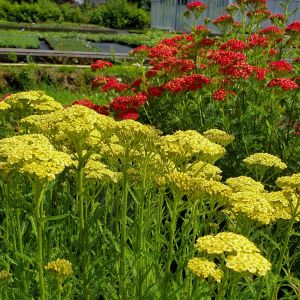 Schafgarbe (Achillea) Sunny Seduction