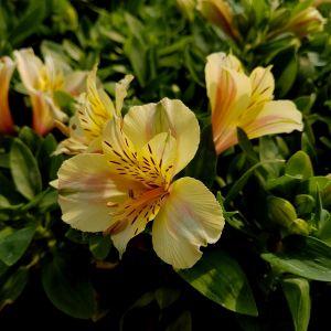 Inkalilie (Alstroemeria) COLORITA Ariane®