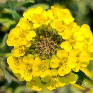 Felsensteinkraut (Alyssum saxatile) Goldkugel