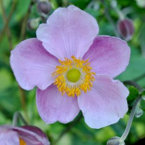 Herbst-Anemone (Anemone hupehensis) September Charm