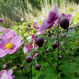 Herbst-Anemone (Anemone hupehensis) Splendens