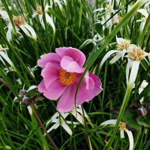 Herbstanemone (Anemone tomentosa) Serenade