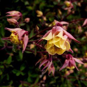 Akelei (Aquilegia vulgaris) WINKY Double Rose & White