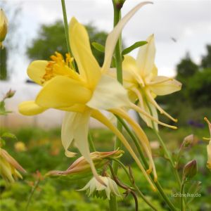 Akelei (Aquilegia chrysanta) Yellow Queen
