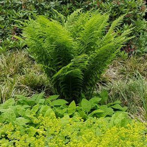 Wald-Frauenfarn (Athyrium filix-femina)