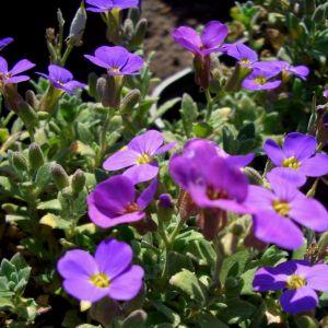 Blaukissen (Aubrieta x. cultorum ) Blaumeise
