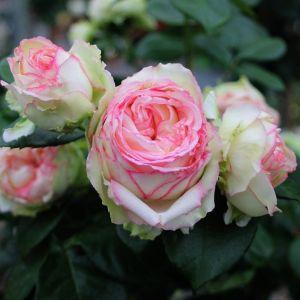 Edelrose (Züchterrose) Biedermeier Garden®