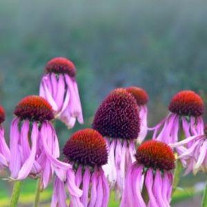 Blassblütiger Sonnenhut (Echinacea pallida)
