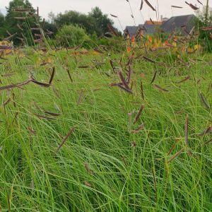 Moskitogras (Bouteloua gracilis)