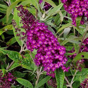Zwerg-Schmetterlingsflieder (Buddleja davidii) Magenta Munchkin