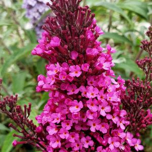 Zwerg-Schmetterlingsflieder (Buddleja davidii) BUZZ Hot Raspberry