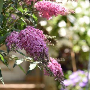 Zwerg-Schmetterlingsflieder (Buddleja davidii) Pink Cascade
