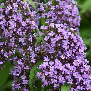 Zwerg-Schmetterlingsflieder (Buddleja davidii) Wisteria Lane