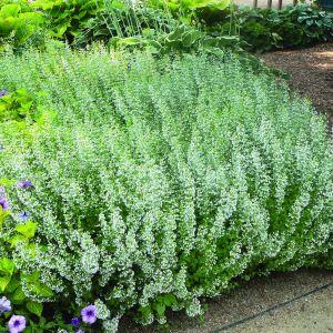 Bergminze (Calamintha nepeta ssp.) Nepeta