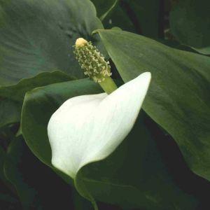 Sumpfcalla (Calla palustris)
